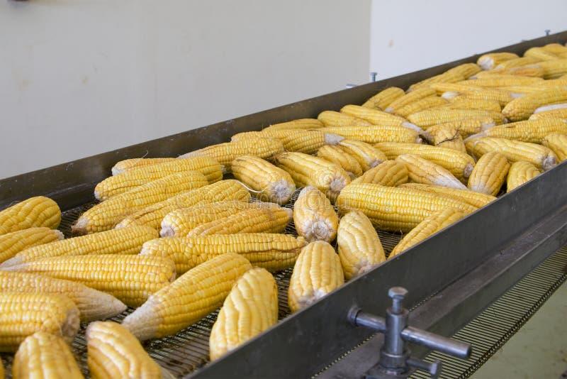 在传动带的新鲜的玉米在工厂 免版税库存图片