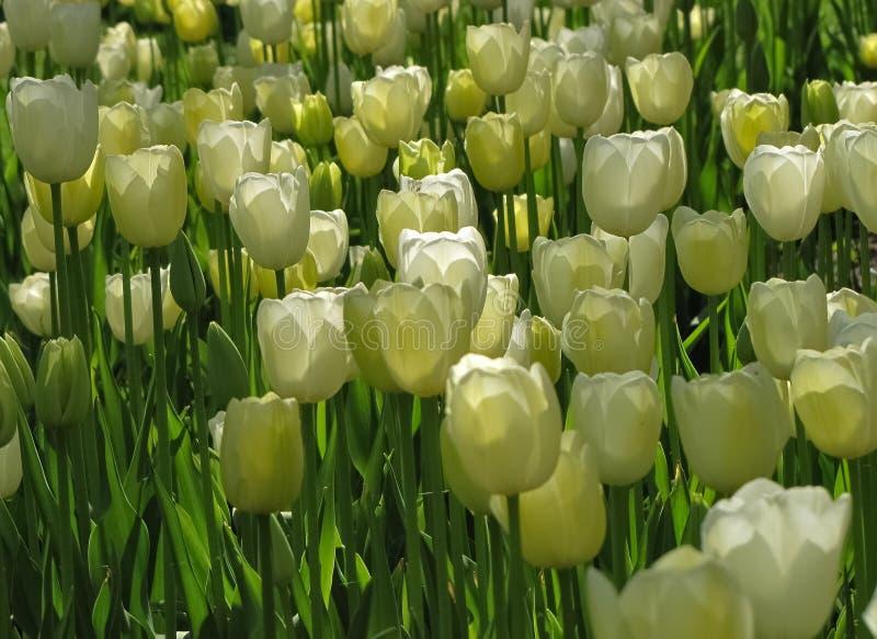 在低灯的白色郁金香群 免版税库存图片