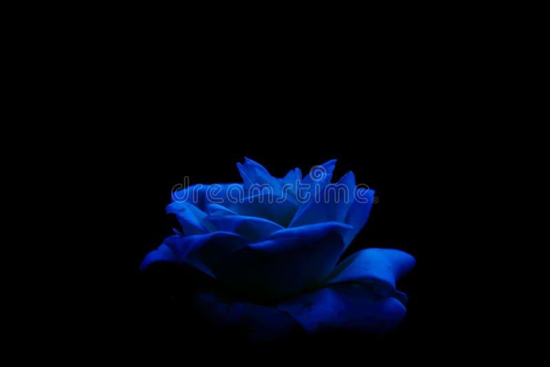 在低调图象的蓝色玫瑰 免版税库存照片