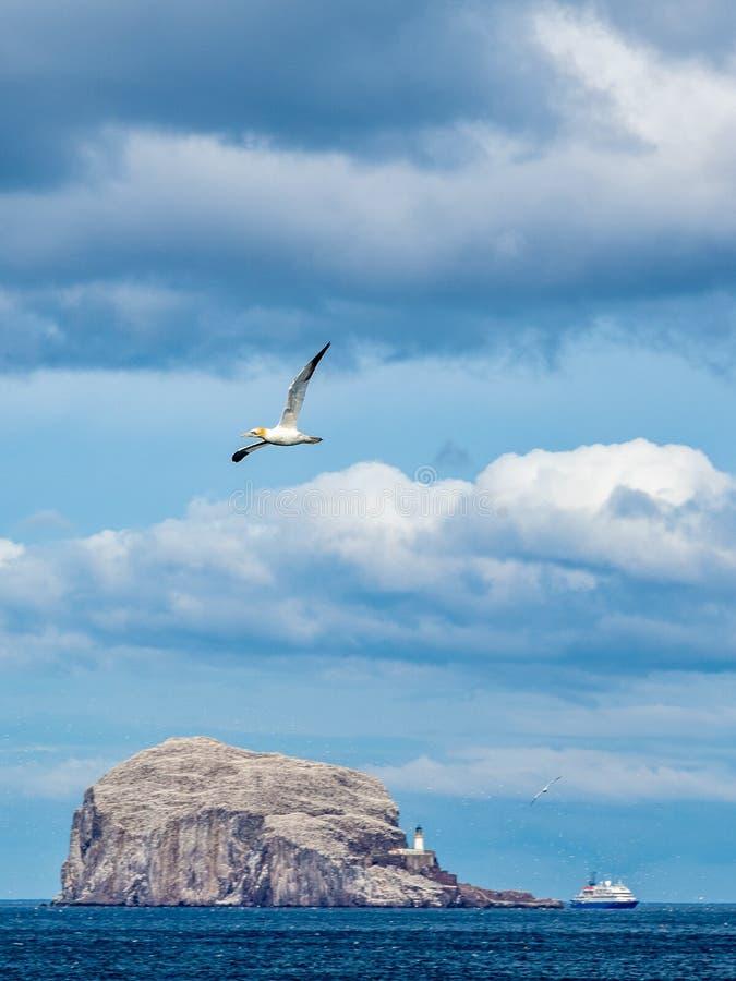 在低音岩石的Gannet飞行 北部贝里克,苏格兰 库存照片