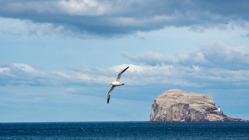 在低音岩石的Gannet飞行 北部贝里克,苏格兰 免版税库存照片
