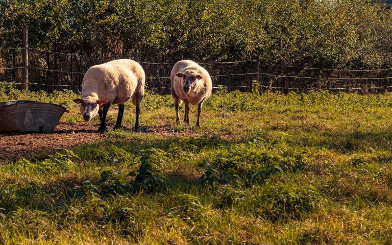 在佛兰芒农村风景的2只白羊 免版税库存图片