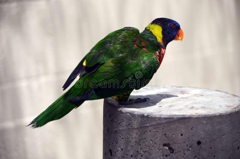 在佛罗里达东南部鸟舍的彩虹澳洲鹦鹉 免版税库存图片