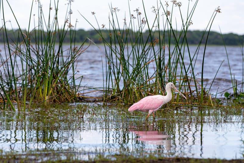 在佛罗里达岸的粉红琵鹭 库存图片