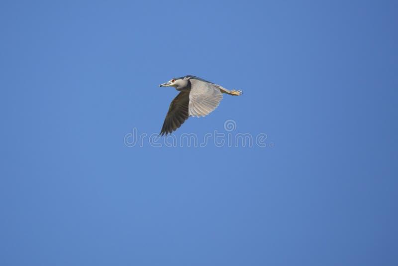 在佛罗里达染黑飞行在沼泽的被加冠的夜鹭属 库存照片