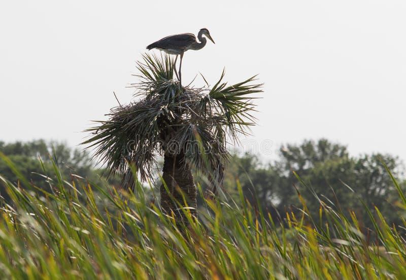 在佛罗里达沼泽地的苍鹭 库存图片