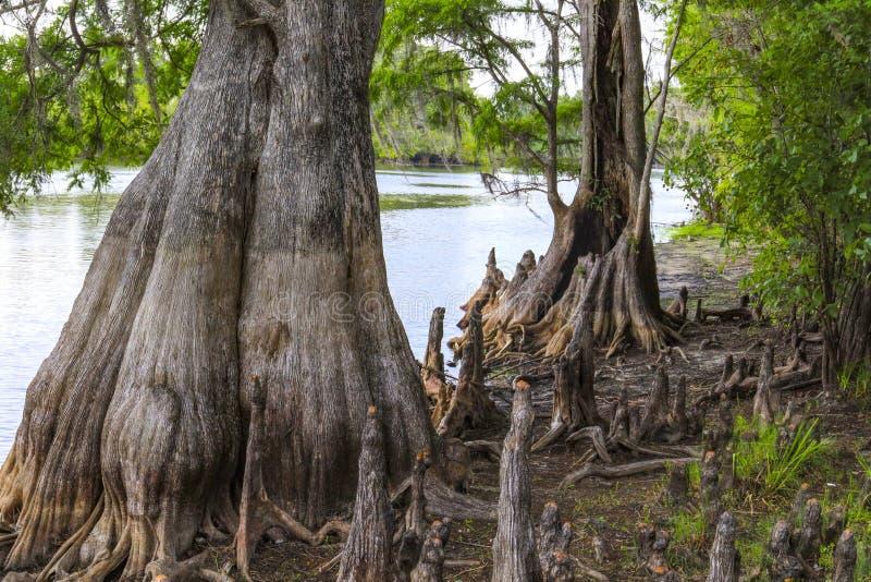 在佛罗里达沼泽的大柏树 免版税库存照片