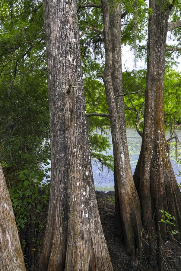 在佛罗里达沼泽的大柏树 图库摄影