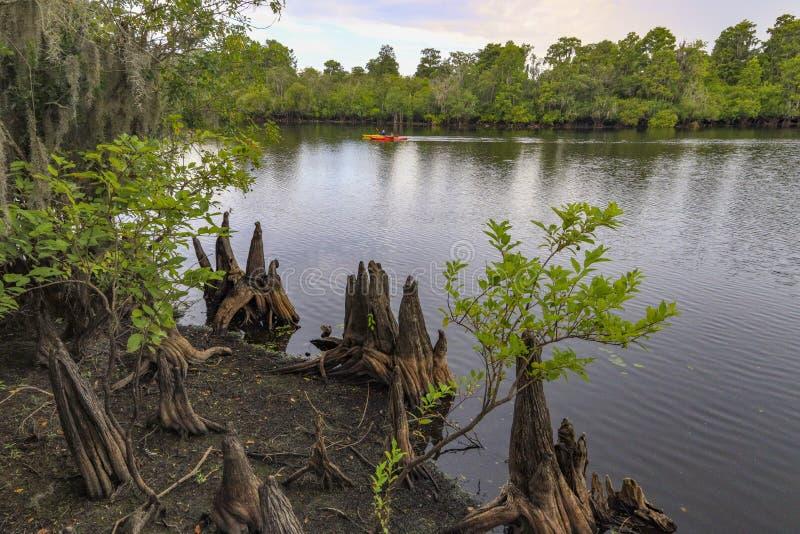 在佛罗里达沼泽的柏树 免版税库存图片