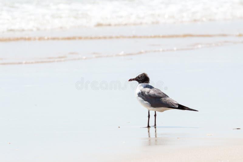 在佛罗里达海滩的海鸥 库存图片