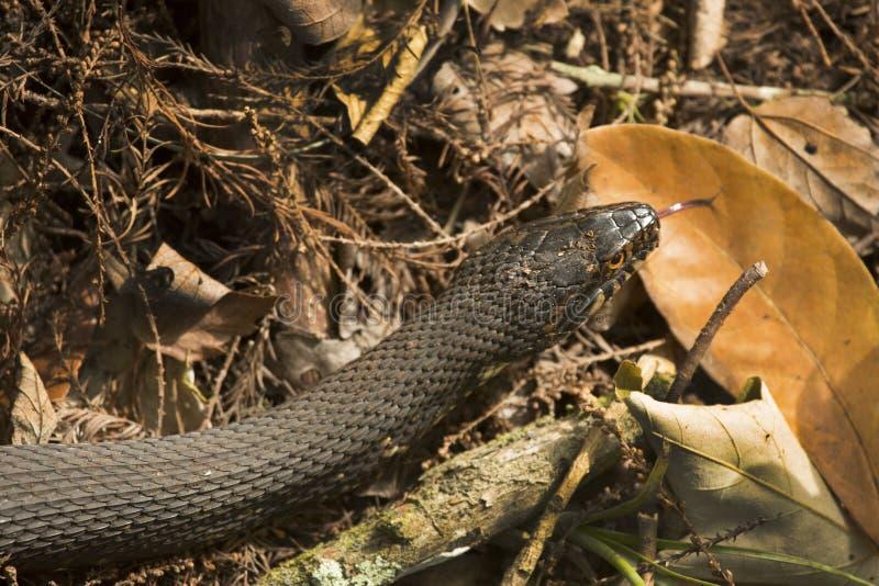 在佛罗里达` s沼泽地草丛的被结合的水蛇  库存图片