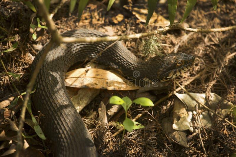 在佛罗里达` s沼泽地草丛的被结合的水蛇  图库摄影