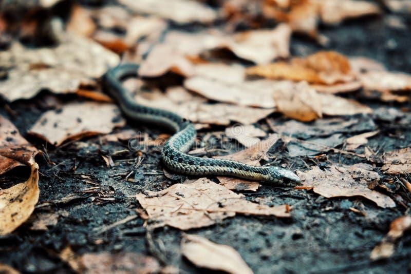 在佛蒙特美国的巨型山森林的叶子的共同的袜带丝带蛇 库存照片