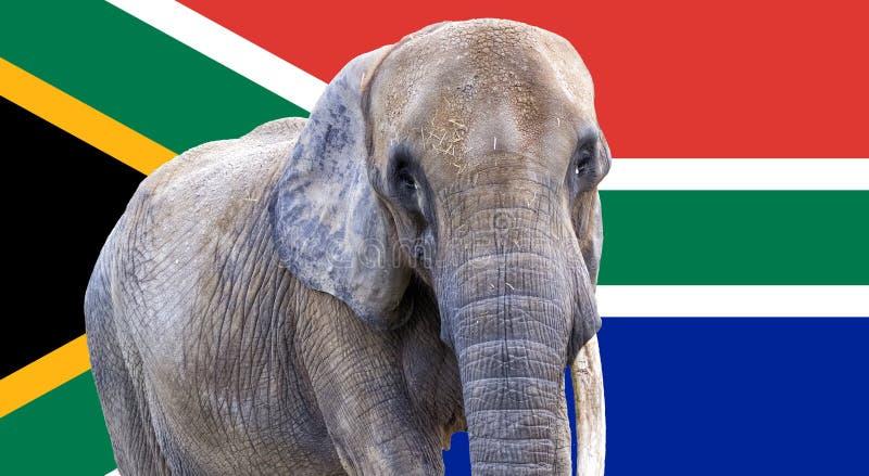 在作为背景使用的南非旗子的大象 库存图片