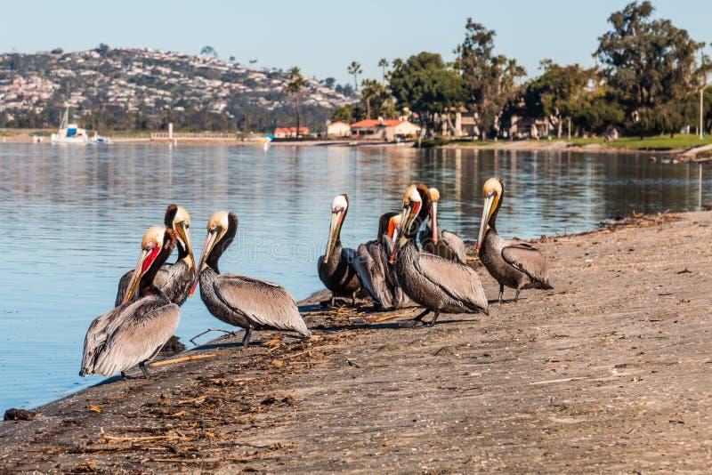 在使命海湾公园的加利福尼亚布朗鹈鹕 免版税库存照片