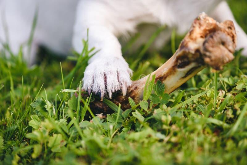 在使用与嚼的狗的爪子的焦点小狗骨头 免版税库存图片