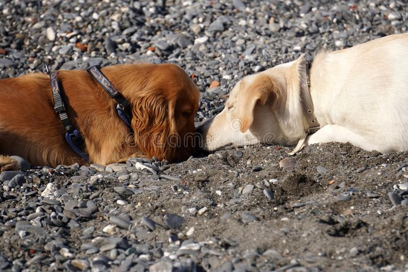 在使用在海滩西班牙猎狗斗鸡家和retriver的爱幼小狗小狗 库存图片