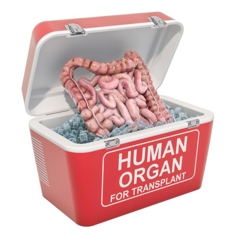 在便携式的冰箱里面的人的肠运输的施主器官,3D翻译 库存例证
