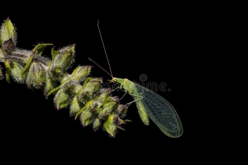 在保险索上面的草蛉昆虫  免版税图库摄影