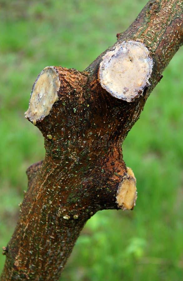 在修剪以后的年轻树 库存照片