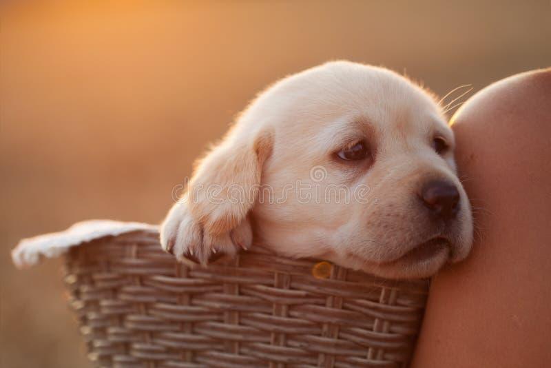 在倾斜反对shou的篮子的可爱的拉布拉多小狗 图库摄影