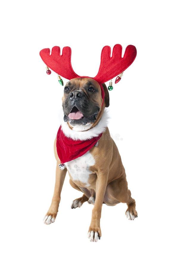 在假日圣诞节围巾班丹纳花绸的美丽的布朗拳击手狗和 免版税库存图片