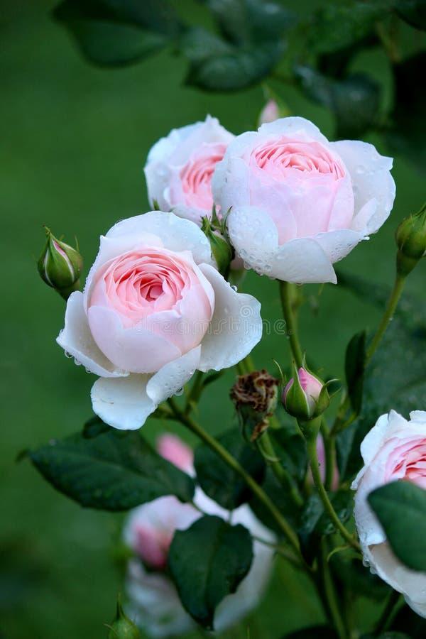 在健康灌木的浅粉红色的玫瑰,某一开放对夏天太阳,开始的其他发芽 库存图片
