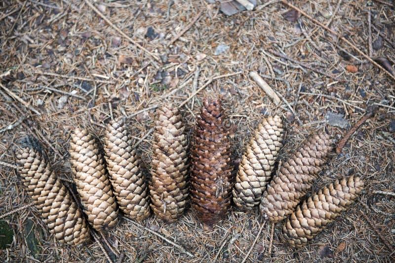 在偶然地在地面上的爱好者的杉木锥体在森林 免版税库存图片