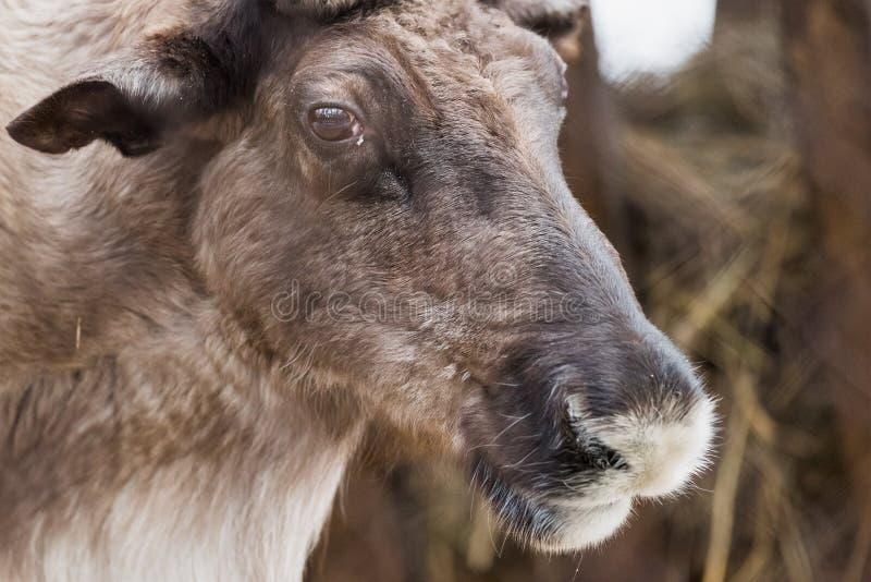 在储备的驯鹿 免版税库存照片