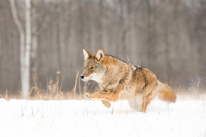 在充分的奔跑的土狼 免版税库存照片