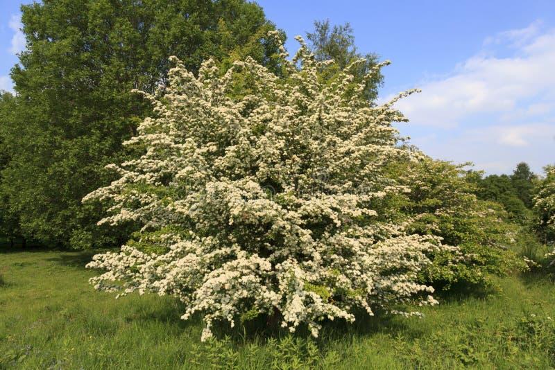 在充分的开花的山楂树树 免版税库存图片