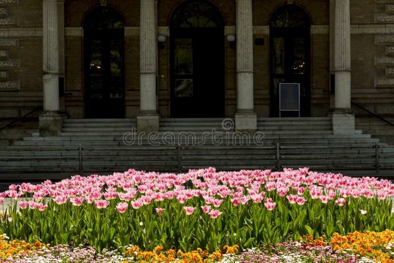 在充分的开花的桃红色郁金香 库存图片