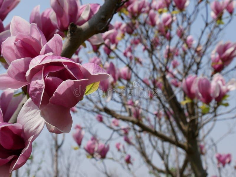 在充分的春天绽放的桃红色木兰树 库存图片