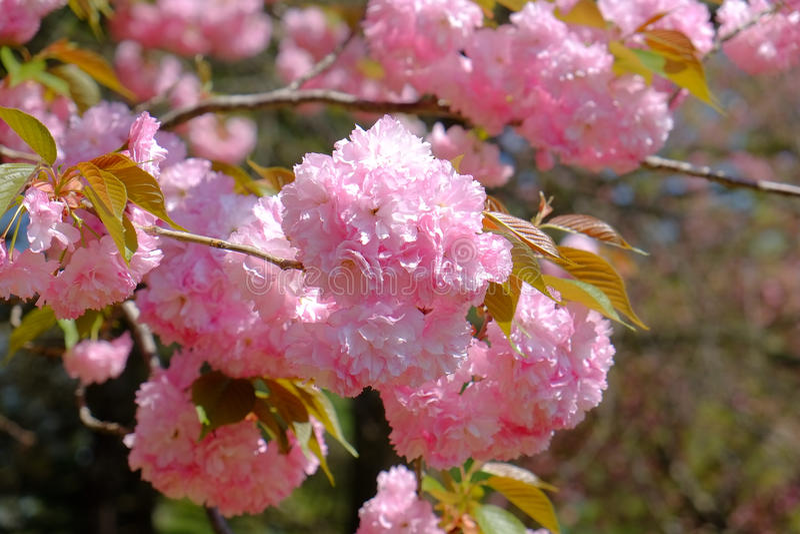 在充分的春天绽放的桃红色樱花 库存照片