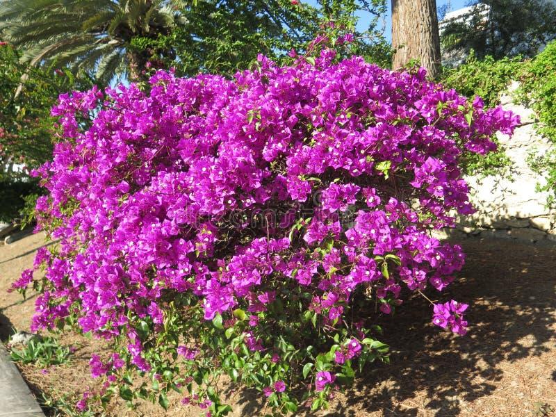 在充分的花的九重葛灌木 免版税图库摄影