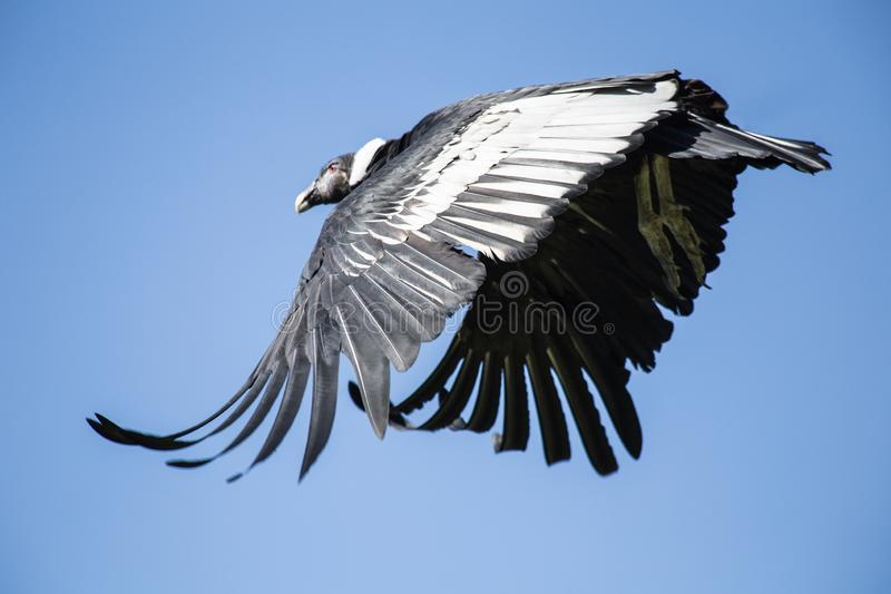 在充分的飞行的神鹰 免版税库存照片