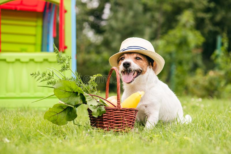 在充分篮子的狗从自己的庭院的自然新鲜食品旁边 库存图片