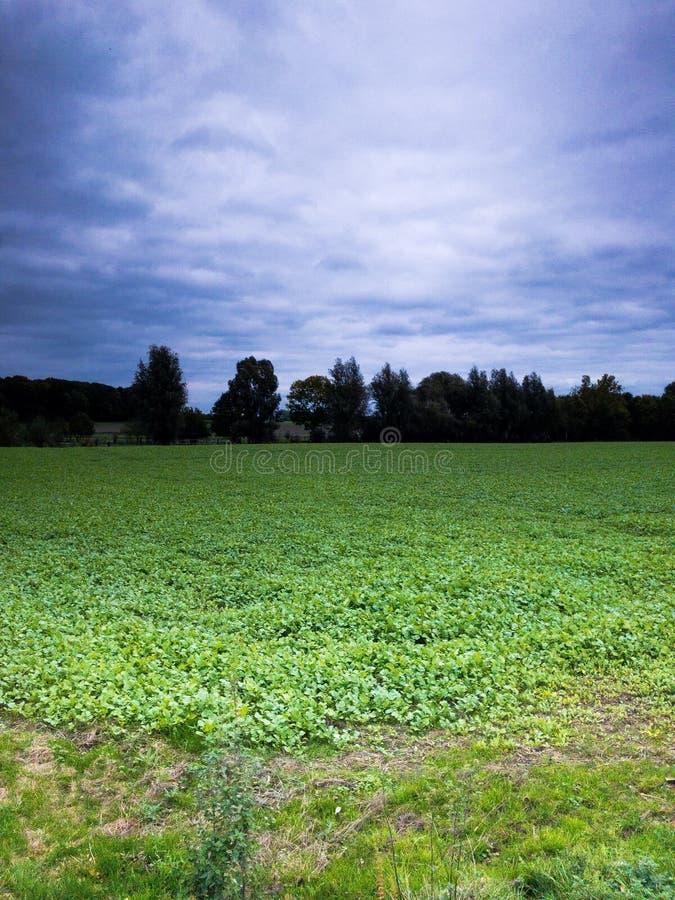 在充分绿色领域的蓝色天堂的草 免版税库存图片