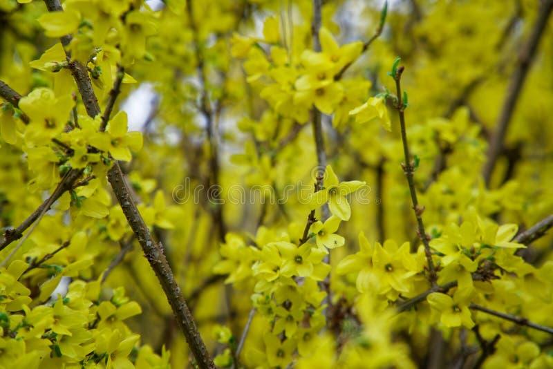 在充满活力的背景的含羞草花或银合欢黄色春天花树 免版税图库摄影