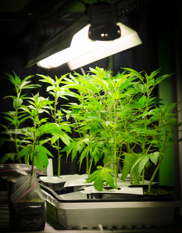在光下的大麻植物 免版税库存照片
