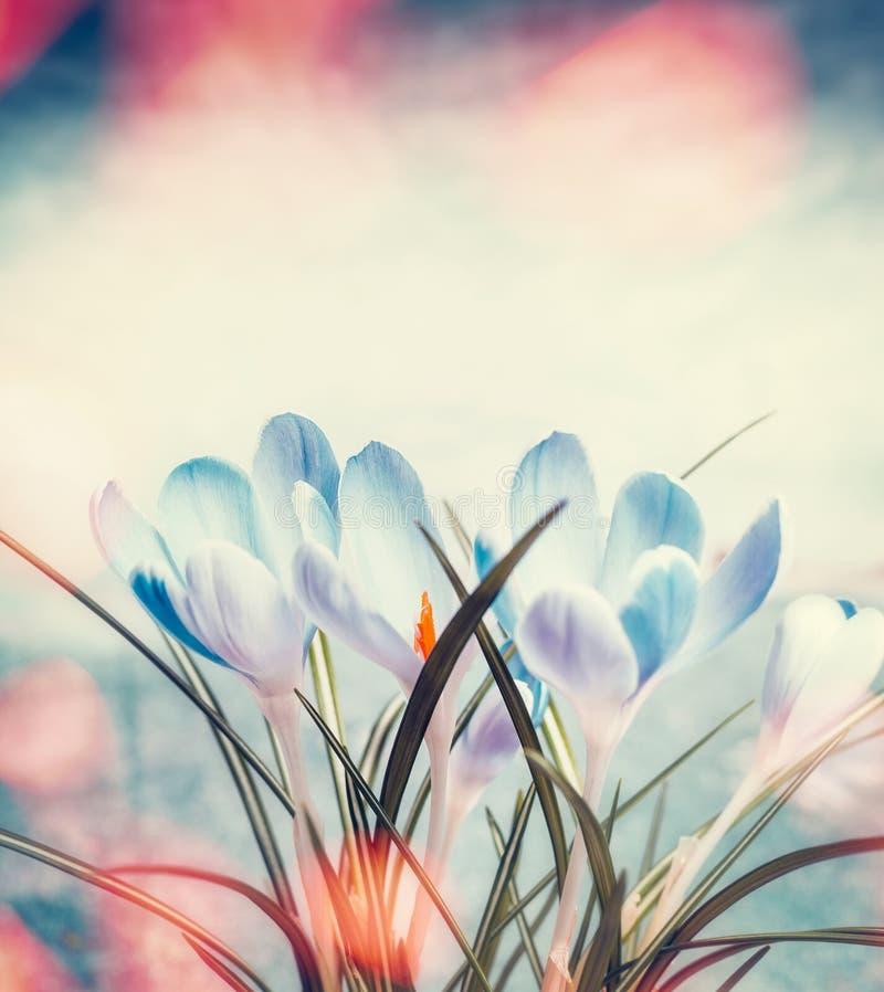 在光束bokeh、春天自然和花的可爱的番红花 免版税库存图片