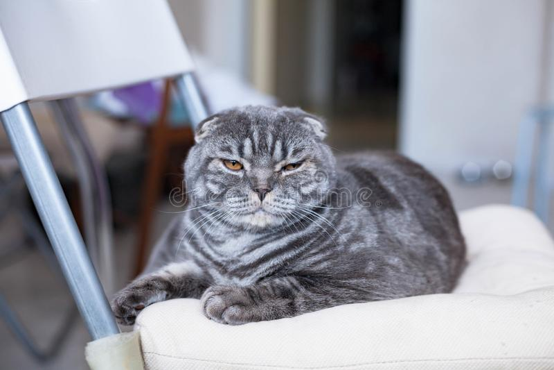 在光的美好的苏格兰折叠猫半眯着的眼睛,坐椅子 免版税库存图片