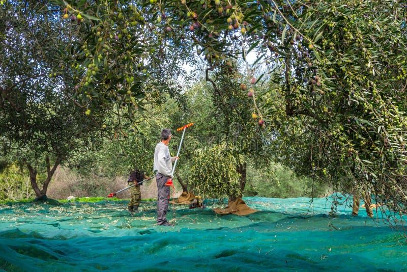 在克利特,希腊收获了在大袋的新鲜的橄榄在一个领域 免版税库存图片