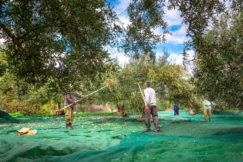 在克利特,希腊收获了在大袋的新鲜的橄榄在一个领域 库存照片