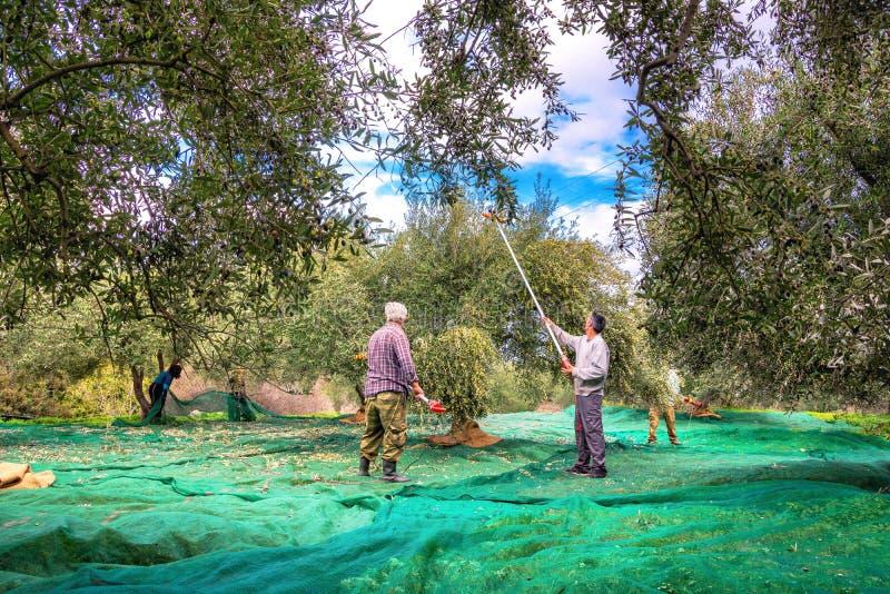 在克利特,希腊收获了在大袋的新鲜的橄榄在一个领域 免版税库存照片
