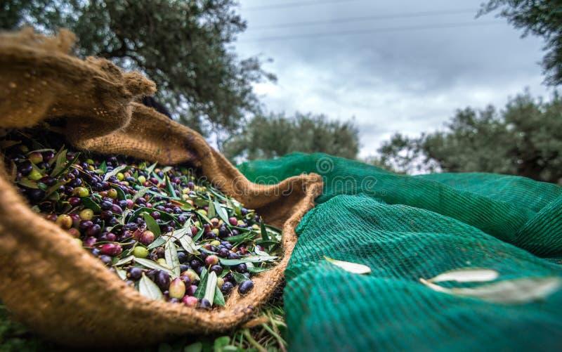 在克利特,希腊收获了在大袋的新鲜的橄榄在一个领域 库存图片