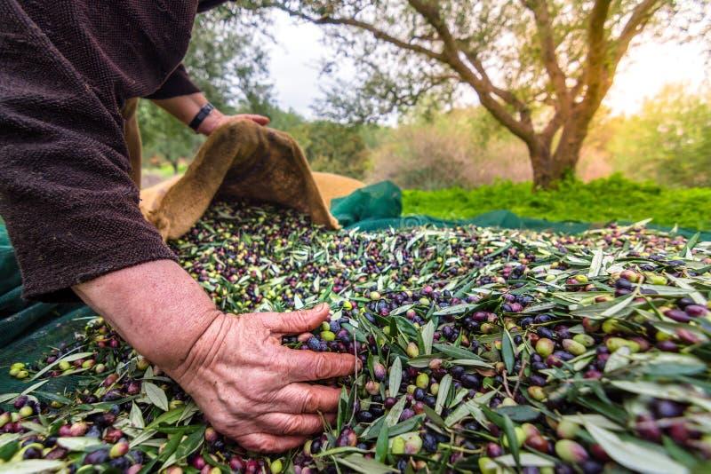 在克利特,希腊收获了在大袋的新鲜的橄榄在一个领域 图库摄影