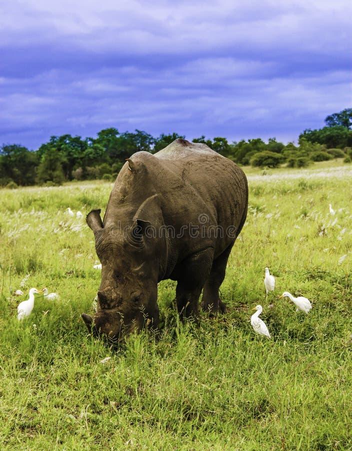 在克留格尔国家公园的南部的白犀牛 库存照片