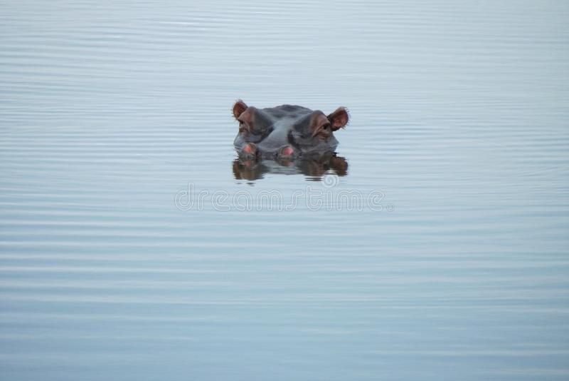 在克留格尔国家公园的河马 免版税库存照片