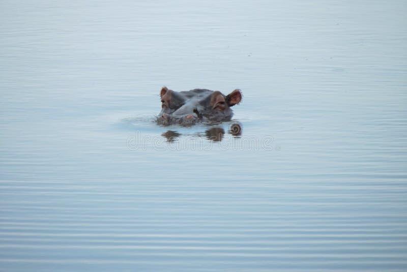 在克留格尔国家公园的河马 库存照片
